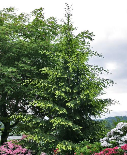 Picea orientalis Auereospicata Spring Golden Oriental Spruce
