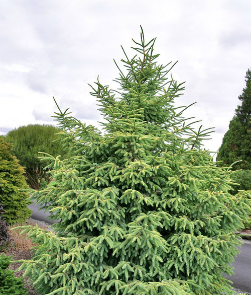 Picea mariana ' Golden ' Yellow Frosted Black Spruce