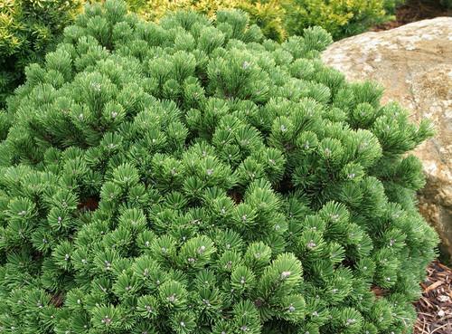 Pinus mugo Sherwood Compact Dwarf Mugo Pine