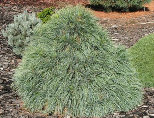 Wiethorst Hybrid Pine