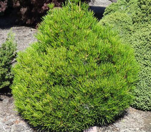 Sciadopitys verticillata Picola Dwarf Japanese Umbrella Pine
