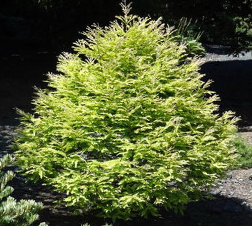 Metasequoia glyptostroboides Schirrmann's Nordlicht Dawn Redwood