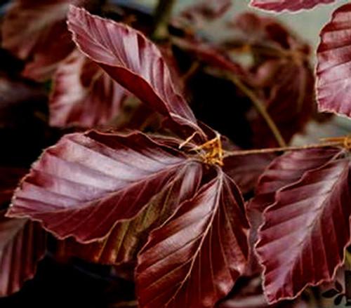 Fagus sylvatica Riversii Purple European Beech Tree