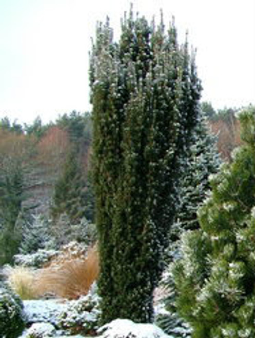 Taxus baccata ' Black Rod ' Dark Narrow English Yew