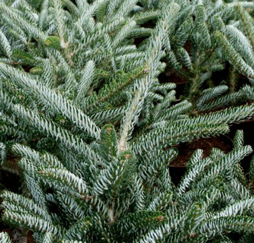 Abies koreana ' Silver Star ' Dwarf Korean Fir