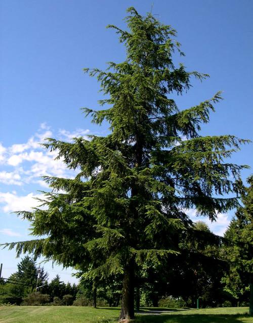 Tsuga heterophylla Western Hemlock
