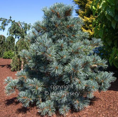 Pinus parviflora Blauer Engel Japanese White Pine