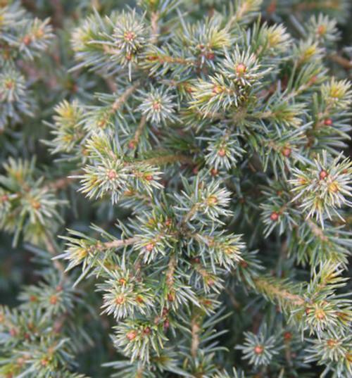 Picea omorika Osmaston #1 Dwarf Serbian Spruce