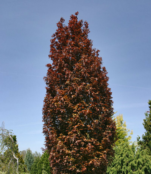 Fagus sylvatica Red Obelisk Columnar European Beech Tree