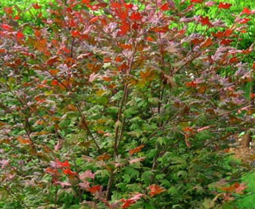 Acer Circinatum Pacific Purple Vine Maple Kigi Nursery