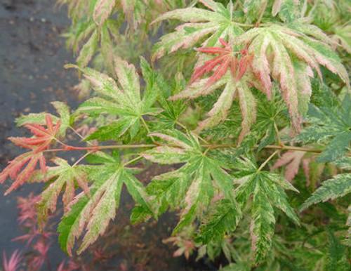 Acer Palmatum Anne Irene Japanese Maple Tree Kigi Nursery