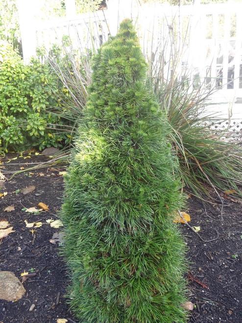 Pinus sylvestris Green Penguin Dwarf Scot's Pine