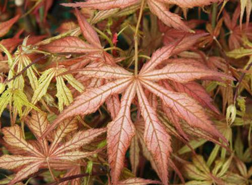 Acer Palmatum Wills Devine Variegated Japanese Maple Kigi Nursery