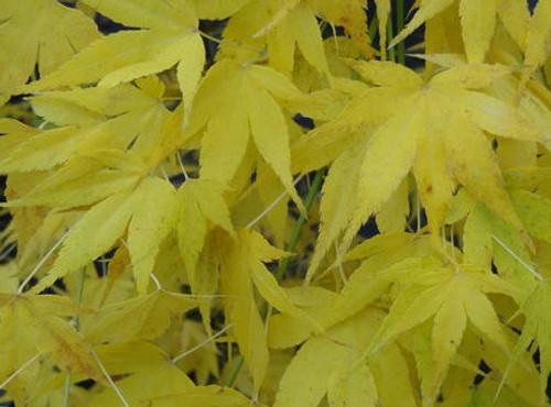 Acer Palmatum Ukon Japanese Maple Tree Kigi Nursery