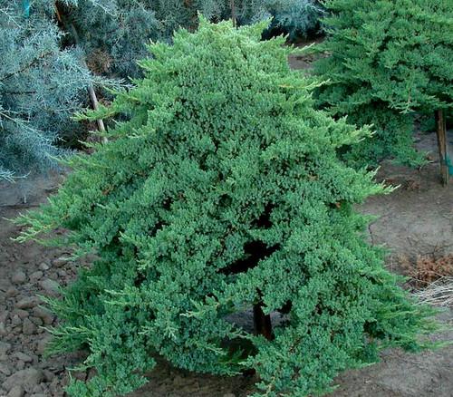 Juniperus procumbens Nana Dwarf Japanese Garden Juniper