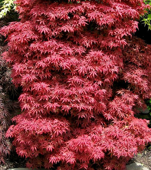 Acer Palmatum Annas Broom Japanese Maple Tree Kigi Nursery