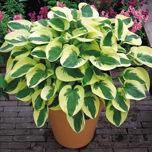 Hosta Brim Cup Green Center with White Margin