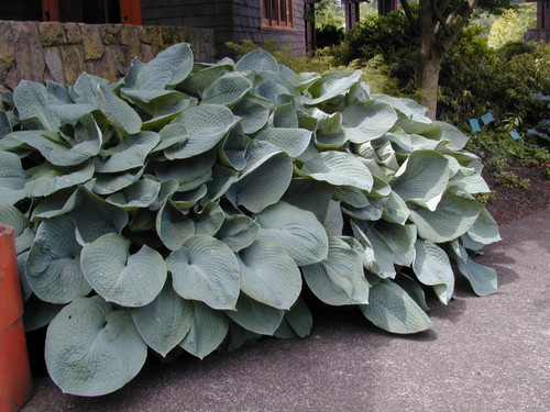 Hosta sieboldiana ' Elegans ' Large Blue-Grey