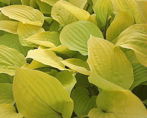 Hosta Fire Island Golden Yellow