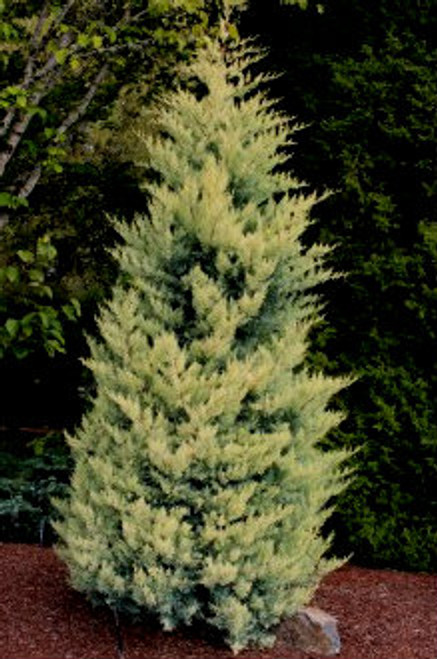 Cupressus glabra ' Aurea ' Golden Arizona Cypress