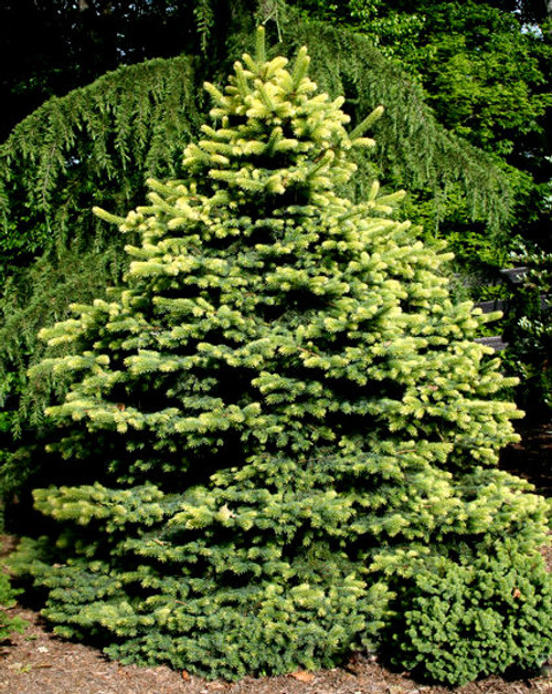 Picea pungens Colonial Gold Golden Colorado Spruce