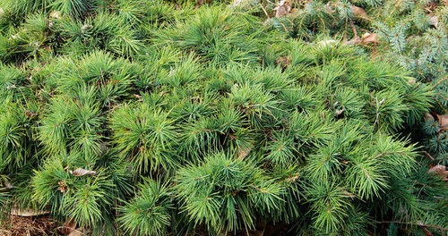 Cedrus libani Katere Miniature Cedar of Lebanon