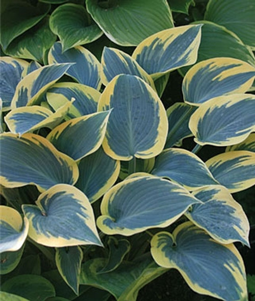 Hosta First Frost Blue and Yellow