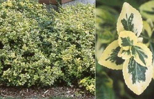Euonymus fortunei Sparkle 'N Gold Mounding Wintercreeper