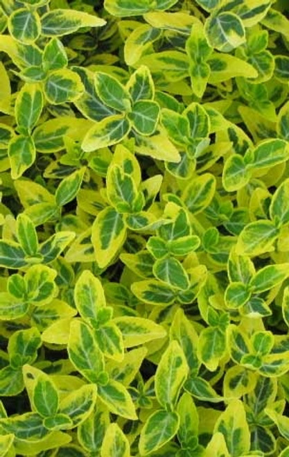 Euonymus fortunei Emerald 'N Gold Variegated Wintercreeper