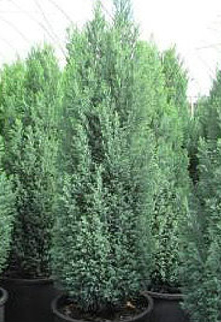Chamaecyparis lawsoniana Ellwood's Pygmy Dwarf Lawsons Cypress