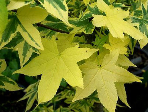 Liquidambar styraciflua Golden Treasure Variegated Sweet Gum