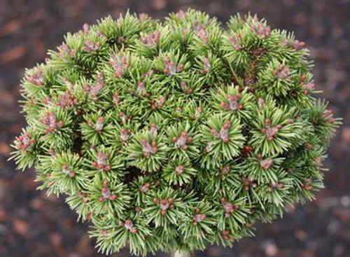 Pinus mugo Piggelmee Miniature Mugo Pine
