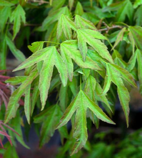 Acer buergerianum Mino yatsubusa Dwarf Trident Maple Tree