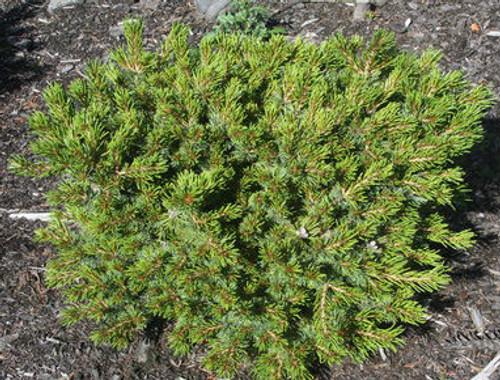 Miyoi Dwarf Japanese White Pine