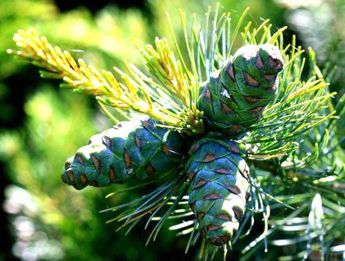 Pinus parviflora Shiobara Japanese White Pine