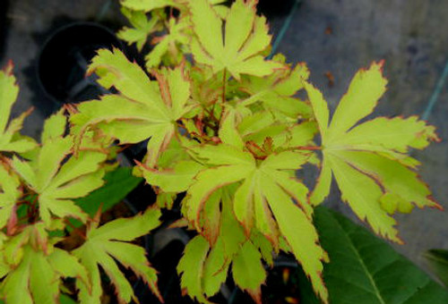 Acer palmatum Anne Irene Japanese Maple Tree