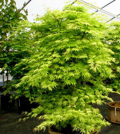 Acer Palmatum Sister Ghost Variegated Japanese Maple Kigi Nursery