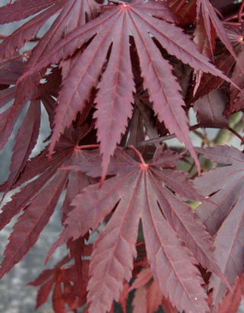 Acer shirasawanum Yasemin Shirasawa Maple Tree