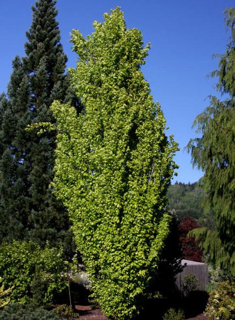 Fagus sylvatica Dawyck Gold Golden Columnar Beech Tree
