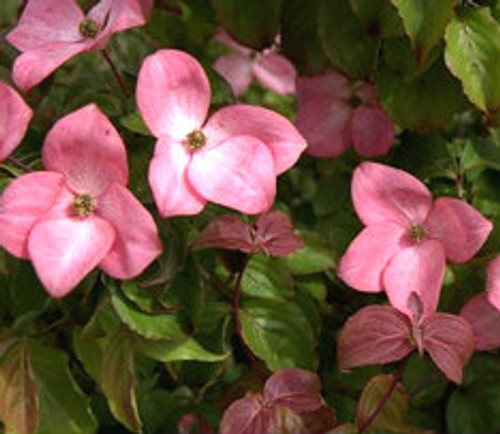 Radiant Rose Pink Flower Japanese Dogwood