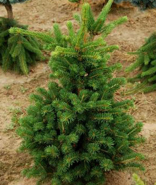 Picea abies Lombartsii Dwarf Norway Spruce