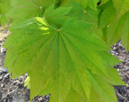 Acer japonicum Taki no gawa Fullmoon Maple Tree