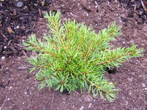 Pinus parviflora Cuddles Dwarf Japanese White Pine