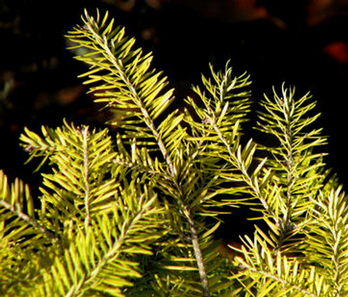 Eugene Gold Dwarf Spreading Balsam Fir