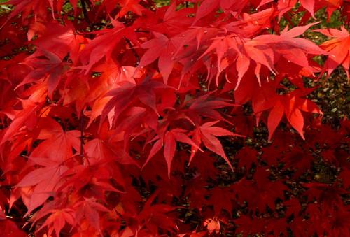 Acer palmatum Korean Gem Japanese Maple Tree