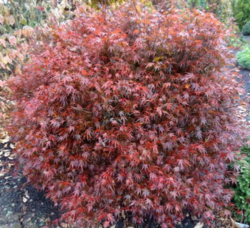 Acer palmatum Kuro hime