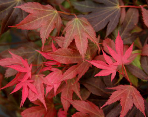Acer palmatum Ruslyn In The Pink Japanese Maple