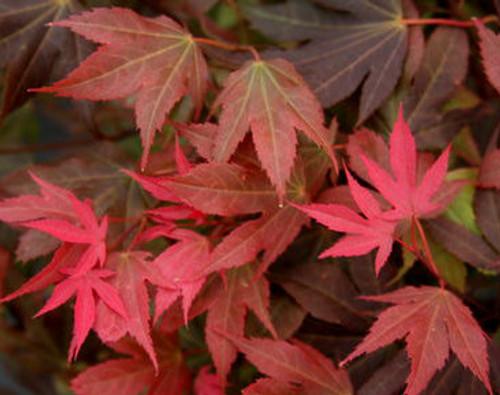 Acer Palmatum Ruslyn In The Pink Japanese Maple Tree Kigi Nursery