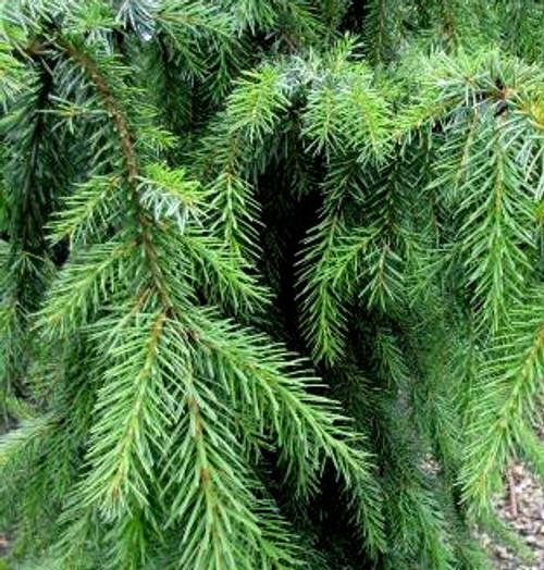 Picea omorika Kuck Weeping Pendulous Serbian Spruce