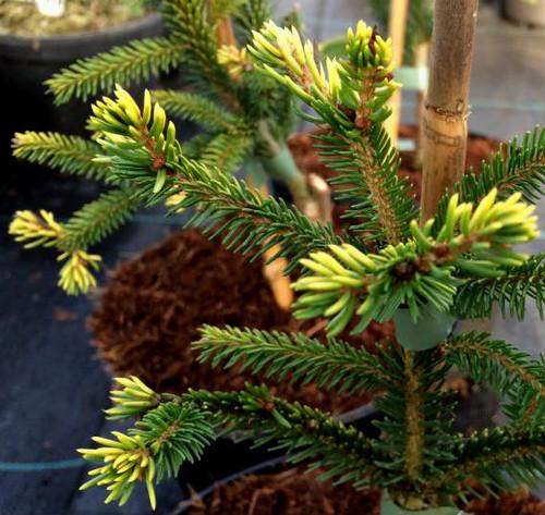 Picea orientalis Lil Sky Dwarf Golden Oriental Spruce